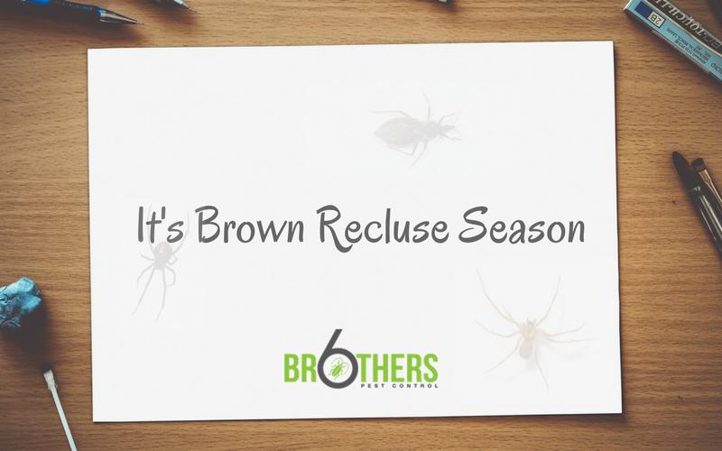 It's Brown Recluse Season