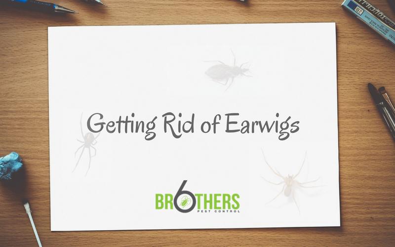 Getting Rid of Earwigs