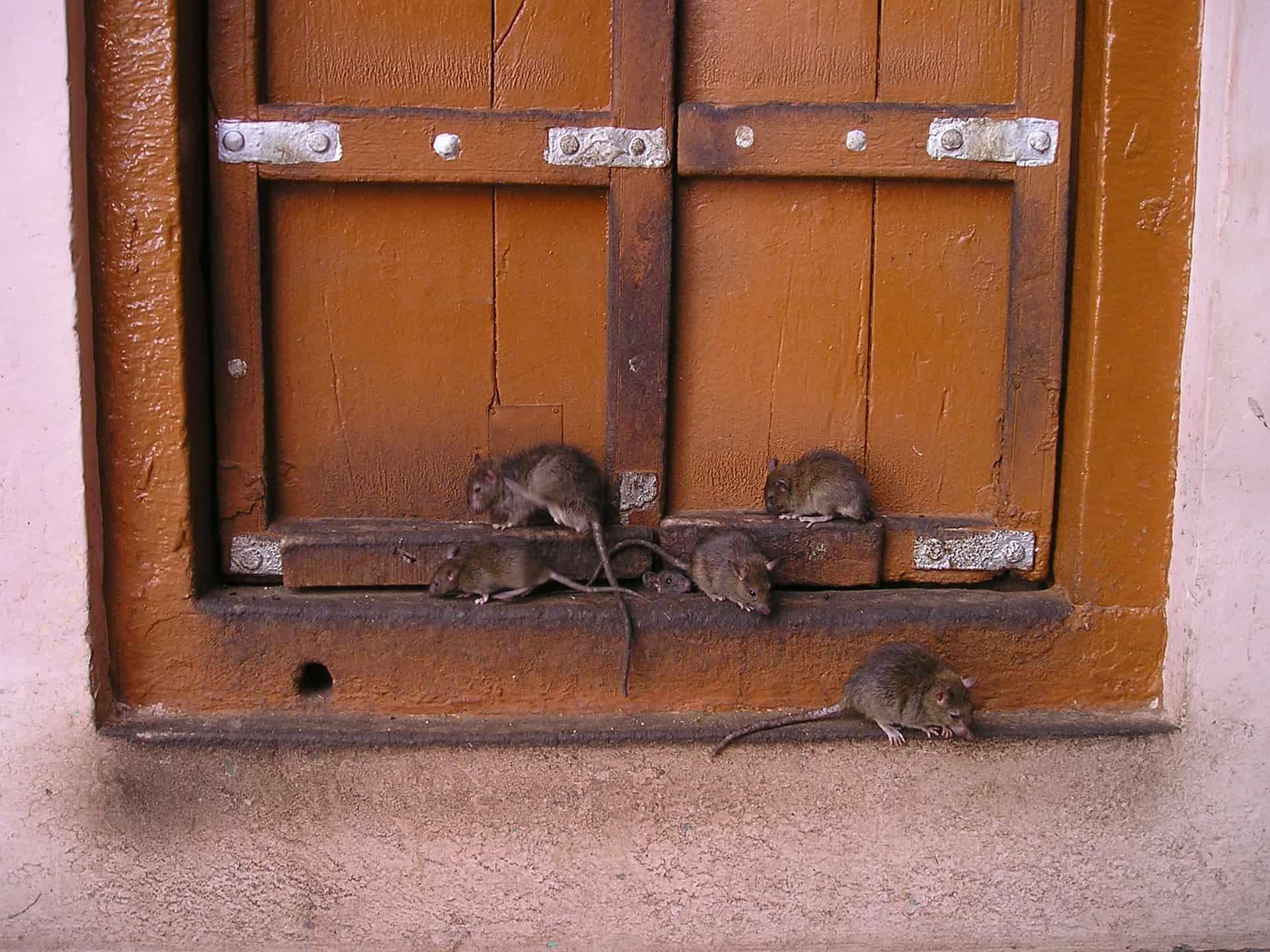 Several rats sitting on a windowsill