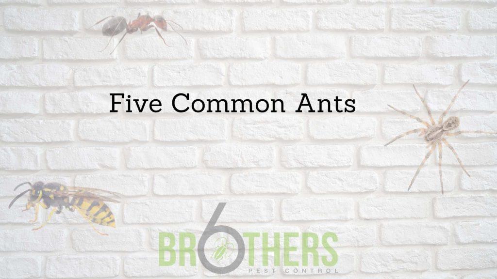 Common Ants in Henderson NV