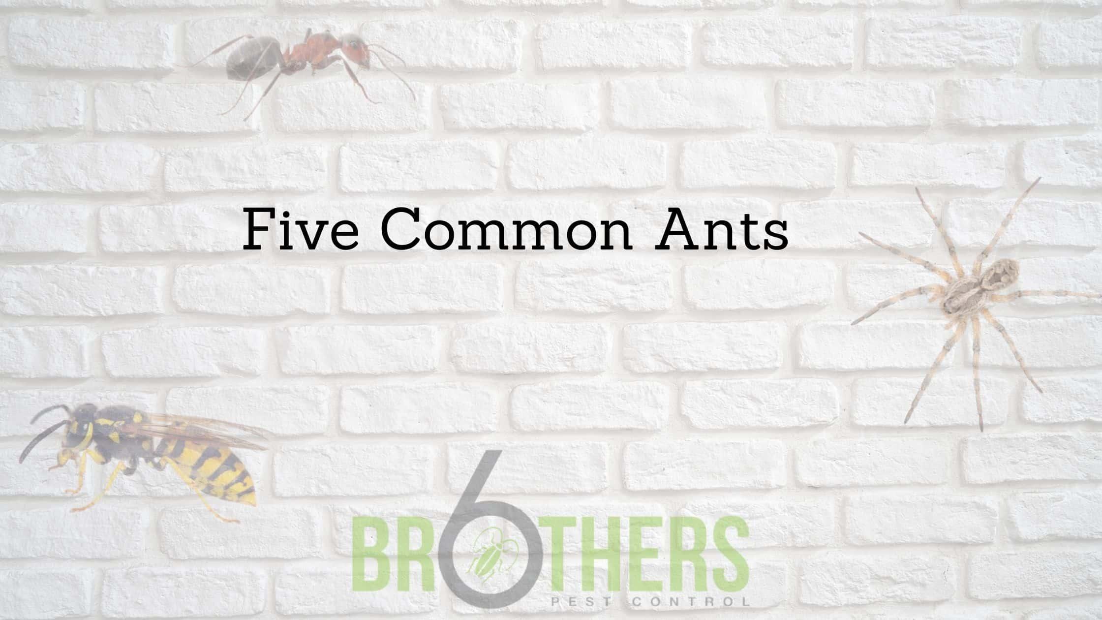 Five Common Ants In Henderson