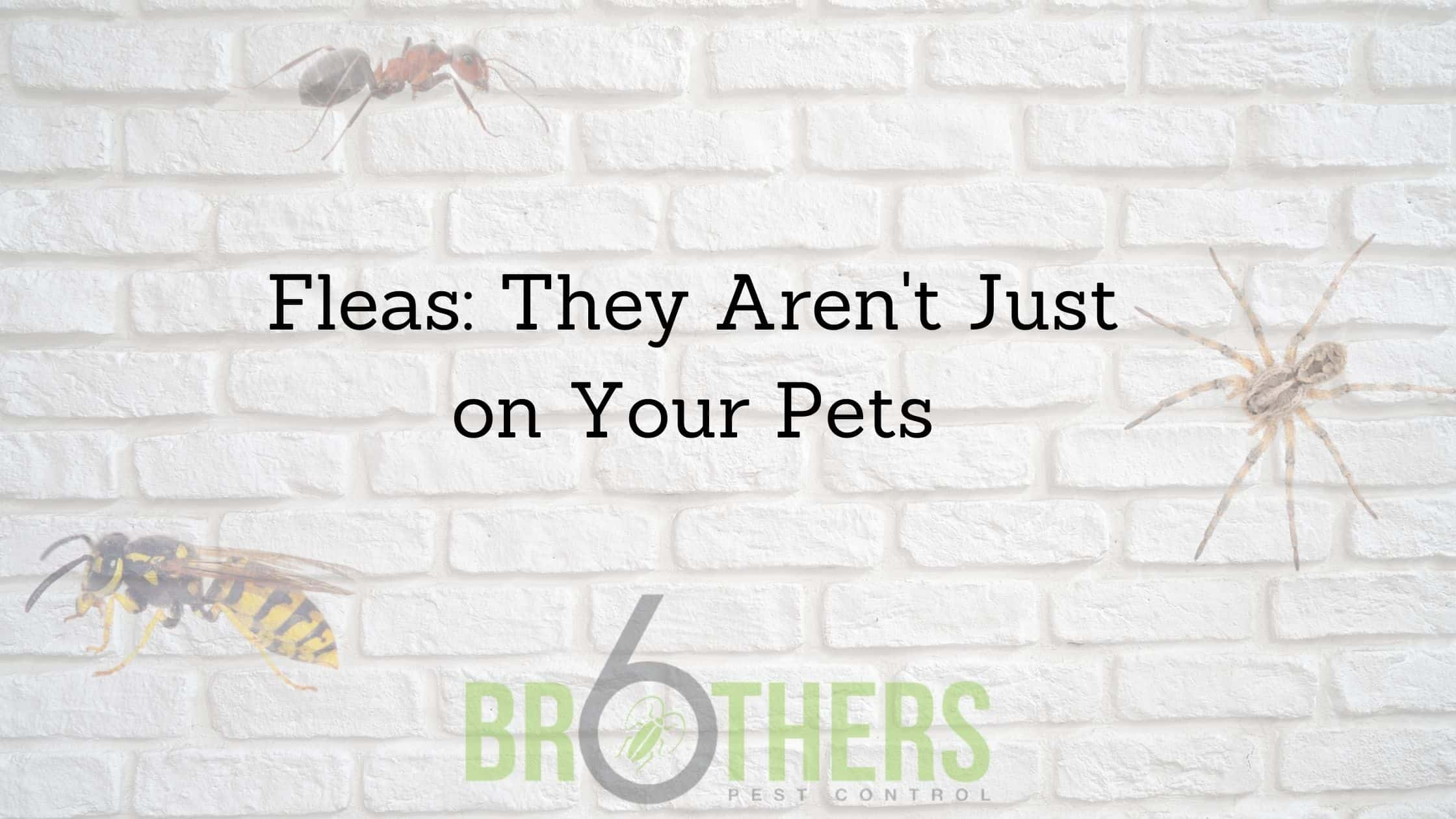 Fleas: They Aren't Just on Your Pets