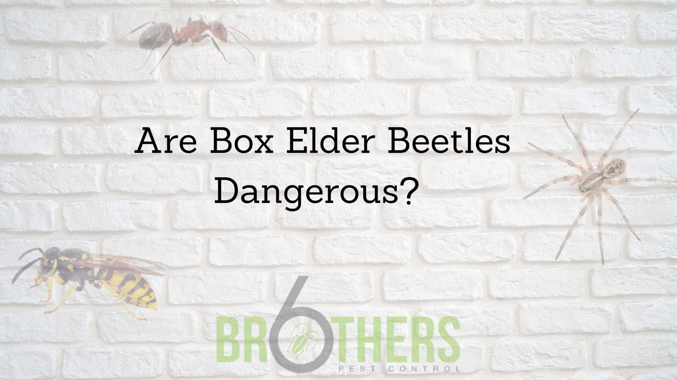 Are Box Elder Beetles Dangerous?